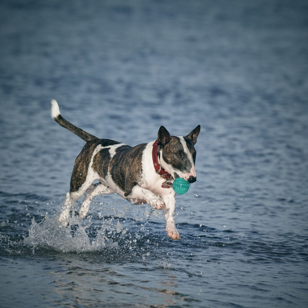 Ein Bullterrier rennt mit einem Spielzeug durch das Wasser