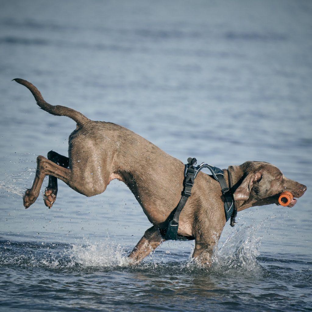 Ein Hund springt durch Wasser am Meer