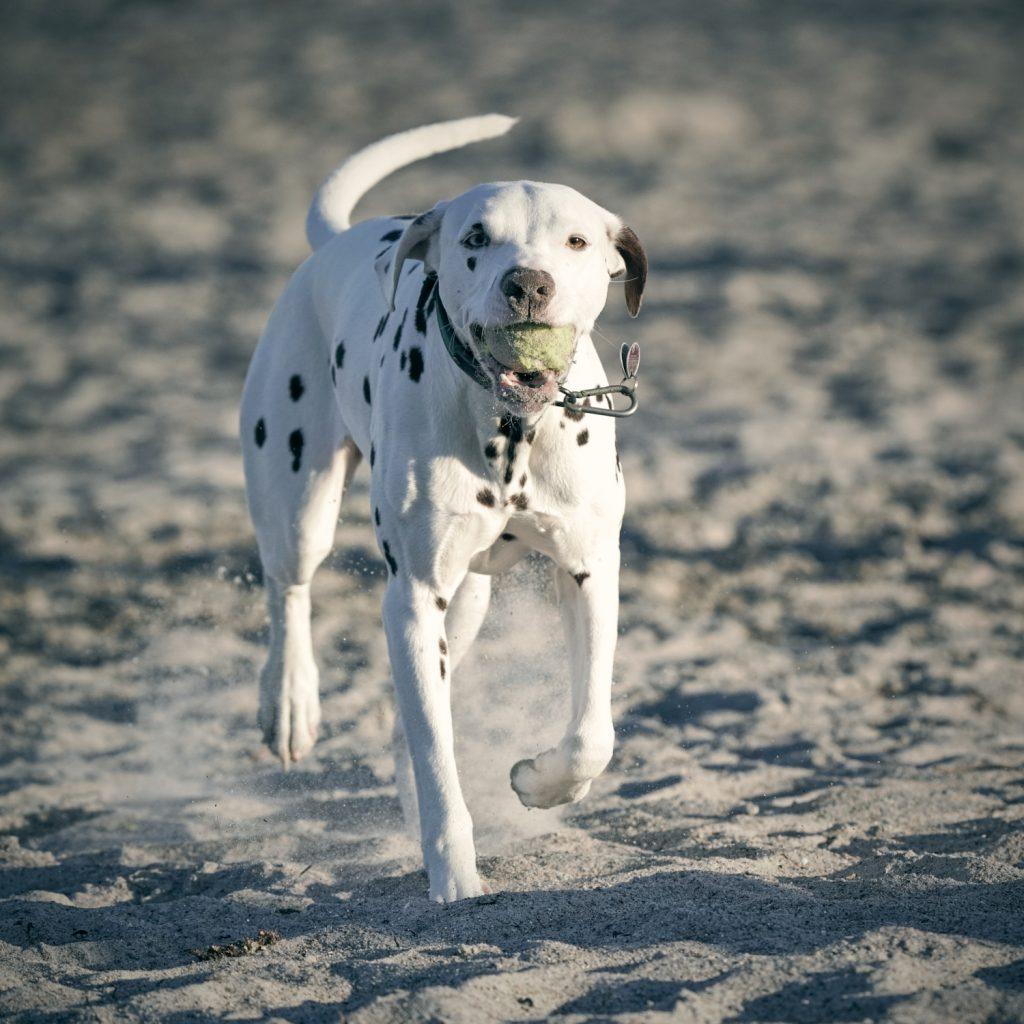 Ein Dalmatiner läuft durch den Sand