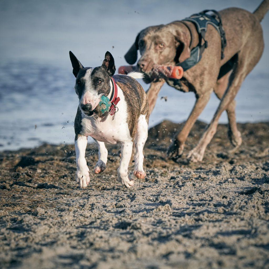 Zwei Hunde spielen am Strand