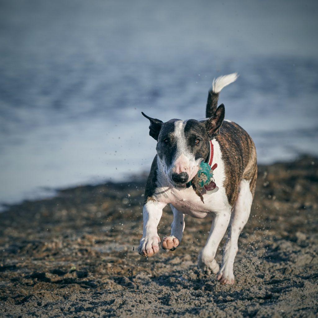 Ein junger Bullterrier rennt mit einem Ball über den Strand