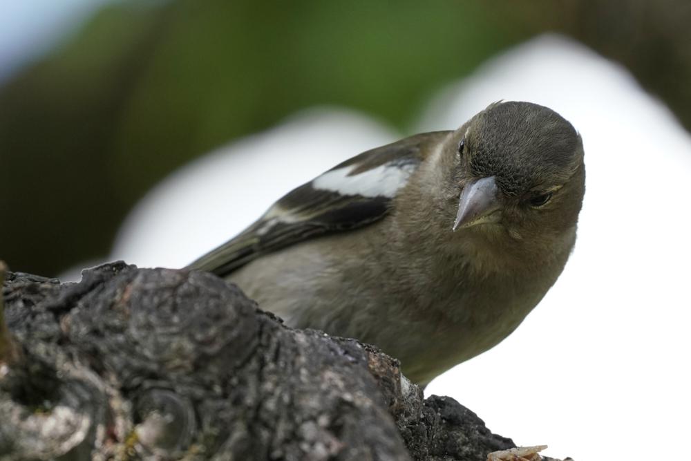 Ein Buchfink sitzt auf einem Ast