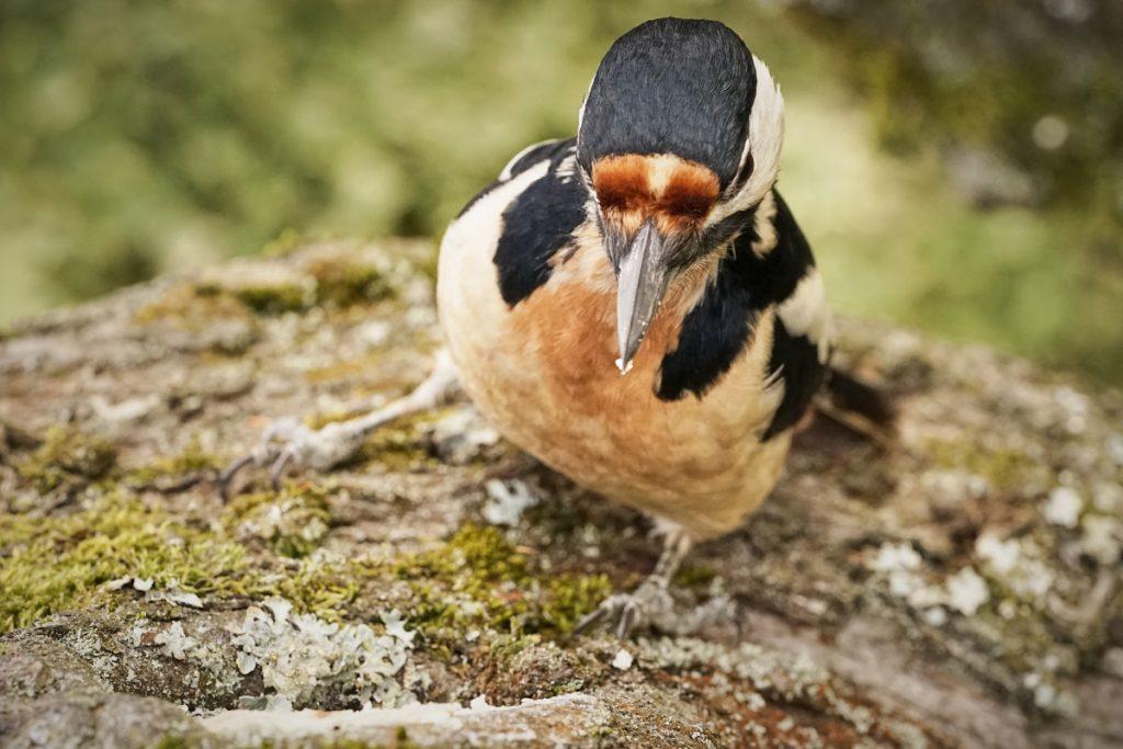 Tierfotografie: Ein Buntspecht an einem Baum, von oben fotografiert